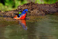 Painted Bunting #03