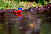 Painted Bunting #01