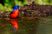 Painted Bunting #02
