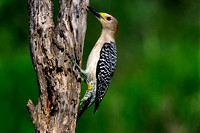 Golden-fronted Woodpecker #03