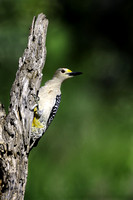 Golden-fronted Woodpecker #02